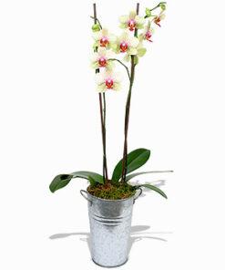Neslišna vedrina orhideja