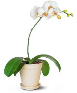 Beli glamur orhideja