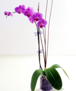 Omamna prefinjenost orhideja