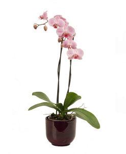 Redek zaklad orhideja